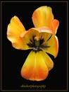 tulip by beriah