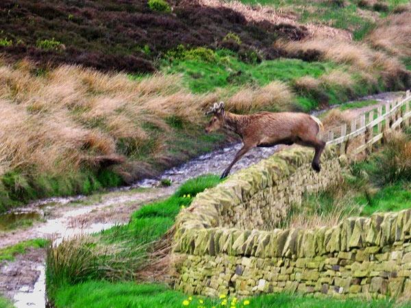 Deer by terra