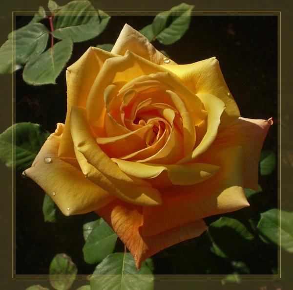 garden roses by CarolG