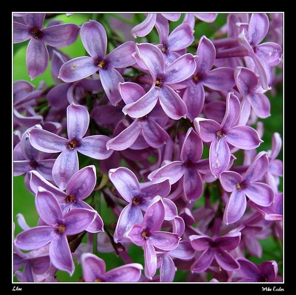 Lilac by oldgreyheron