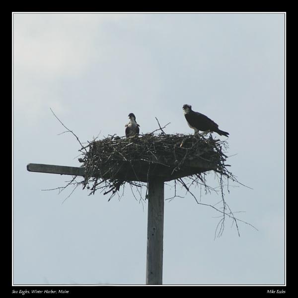 Sea eagles by oldgreyheron