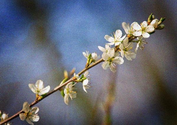 Blossom by GrahamBaines