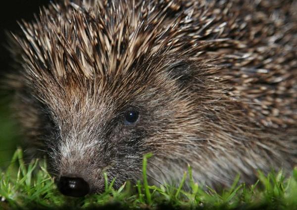 Hedgehog Oops by GrahamBaines