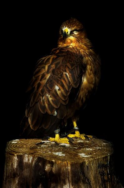 bird of prey by Sep