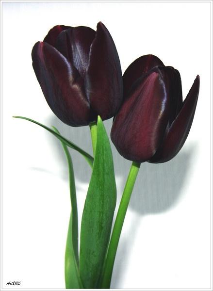 Black Tulip by Art2105