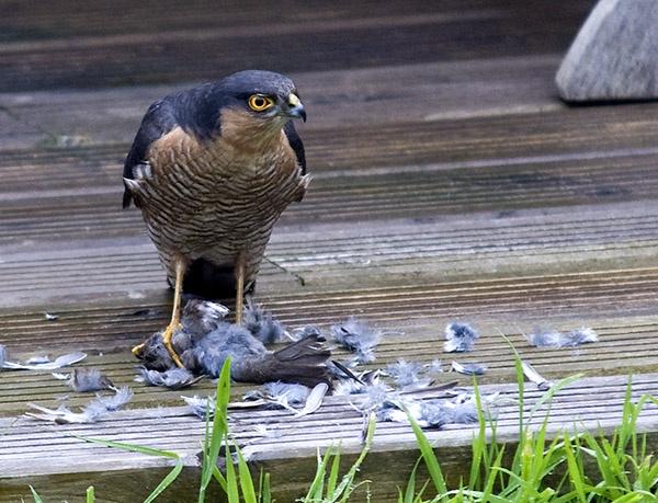 Garden Sparrowhawk!!! by Mobieus