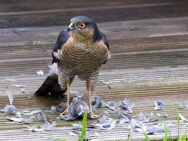 SparrowhawkII by Mobieus