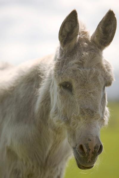 Dick the Donkey by ZakBlack