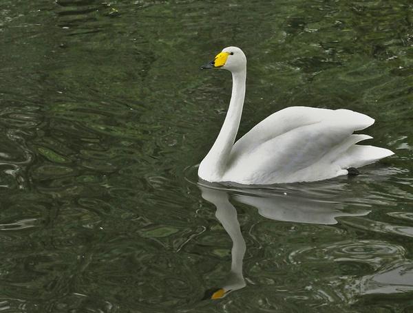 Hooper Swan by pluckyfilly