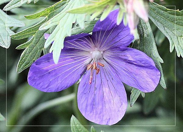 hardy geranium by kraziteach