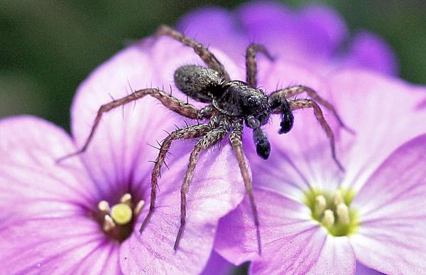 black spider by kraziteach