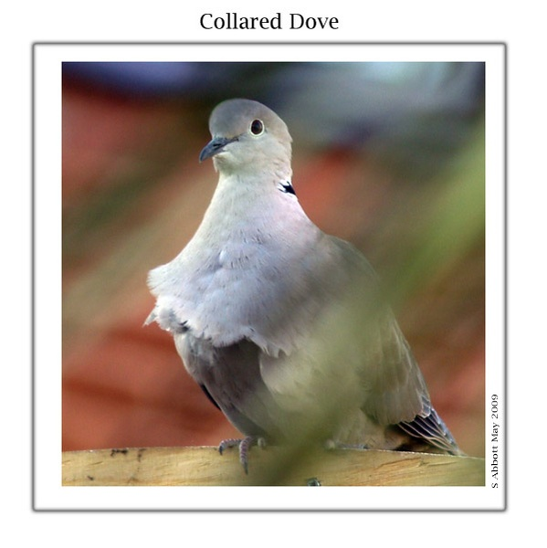 Collared Dove by elaronndy