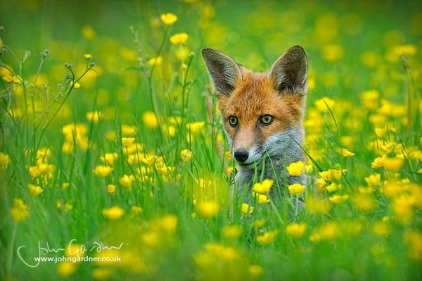 Fox cub in buttercups by jogafoto