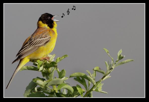 Black-Headed Bunting Singing by jaymark1