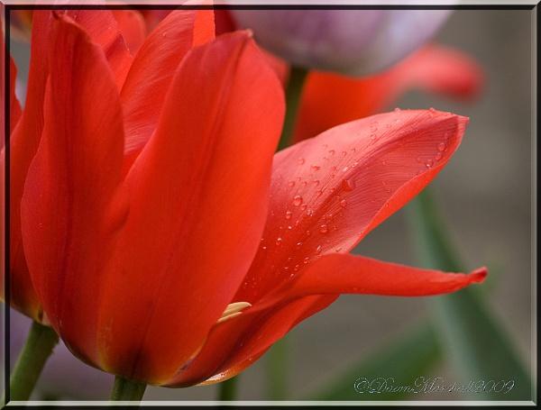 Tulip by dawnUK