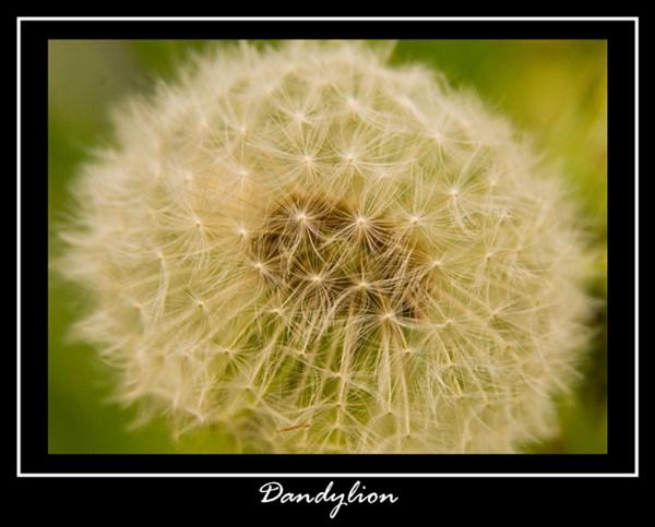 Dandelion by Sonic63