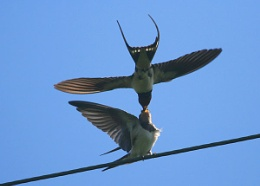 swallow feeding
