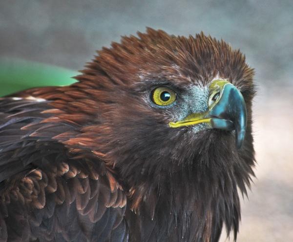 Bateleur Eagle by Neomax38