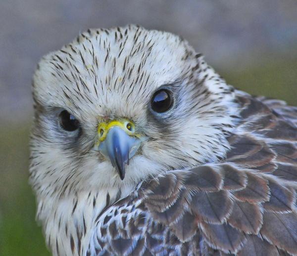 Saker Falcon by Neomax38