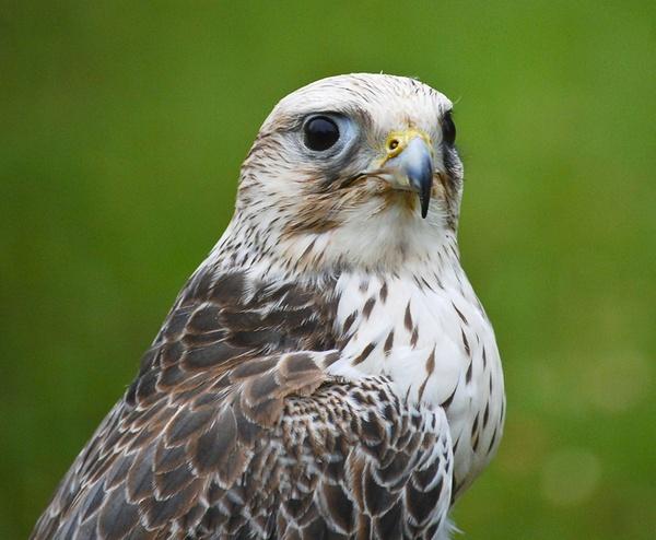 Gyr Falcon by Neomax38