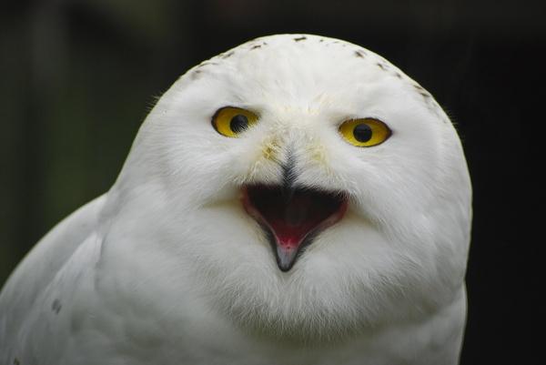 Snow Owl by Neomax38