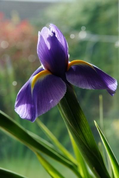 Iris by stevenclark