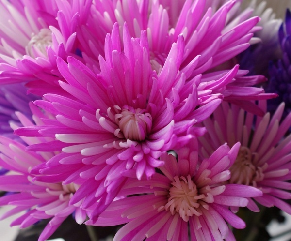 Pink Chrysanthemums by ClairelouD