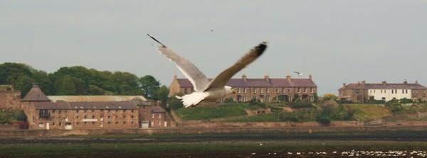 Seagull in full flight by ClairelouD