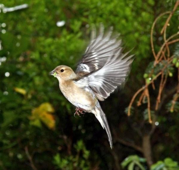 Chaffinch in flight by 64Peteschoice