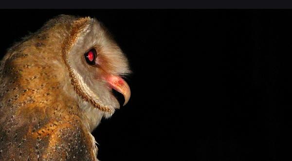 Owl by Saibal