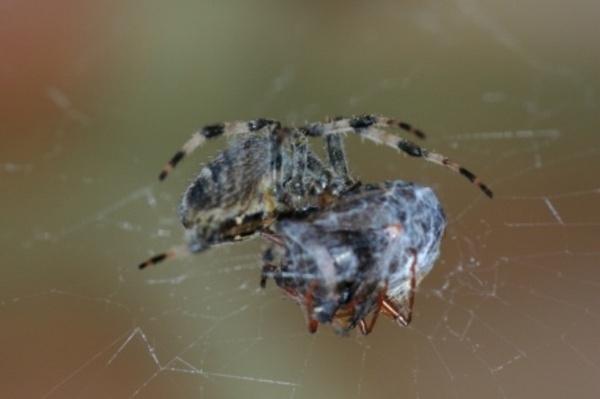 Spider & prey by hippysnapper