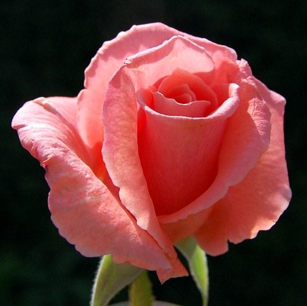 Rose by Rachel99