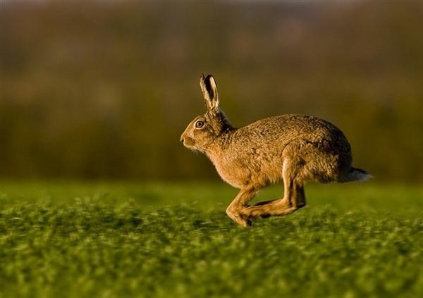 Racing Hare by Enmark