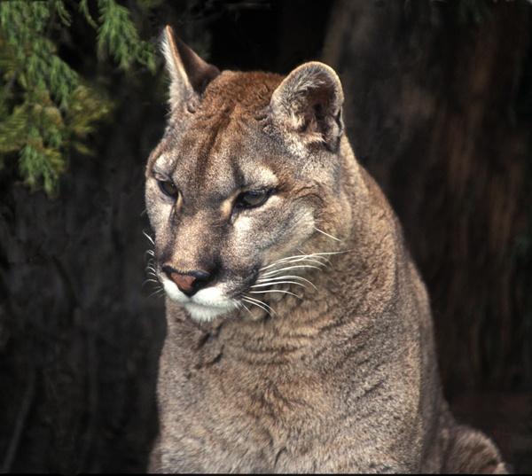 Puma by baclark