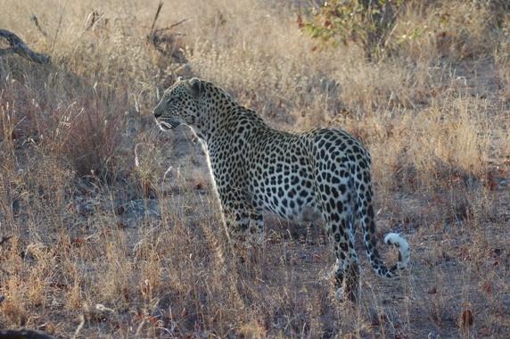 Leopard by IOWAndy