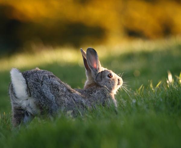 Rabbit having a stretch by GrahamDixon