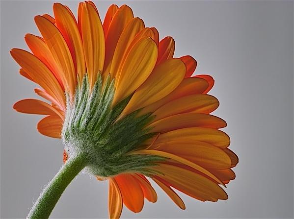 Orange Gerbera by Gemma9
