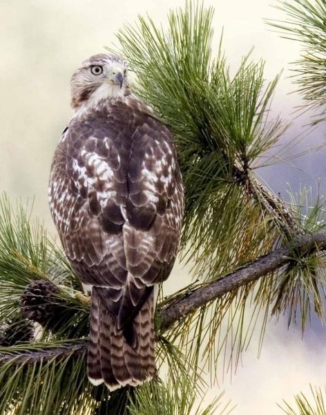 Hawk by MToy