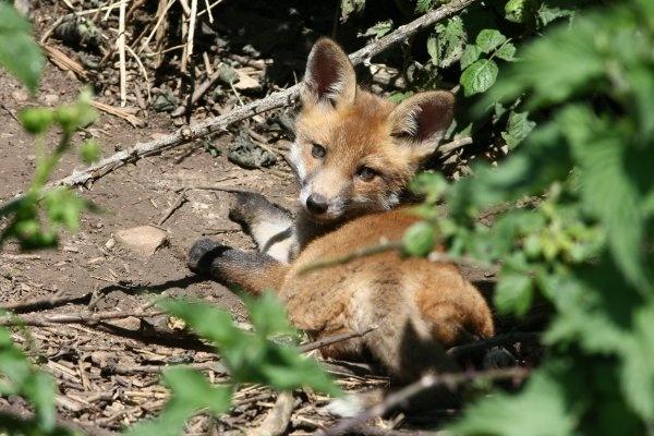 Fox Cub by cheddar-caveman