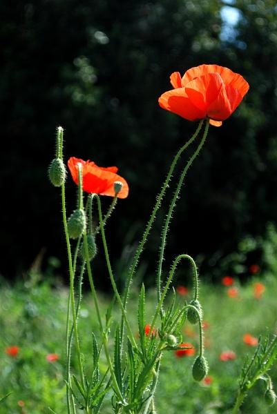Poppy 2 by stuart davies
