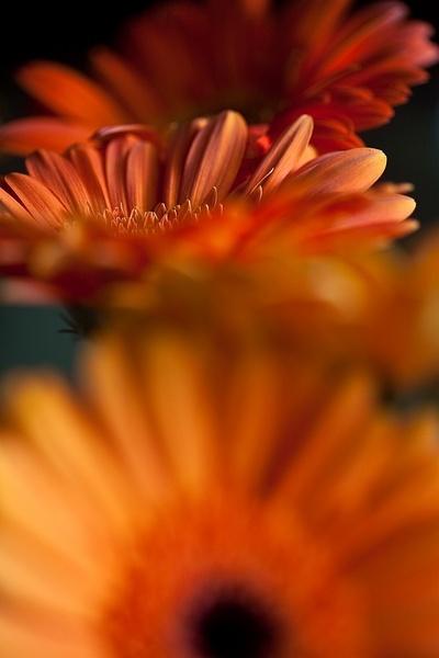 Barberton Daisy by JohanGrobbelaar