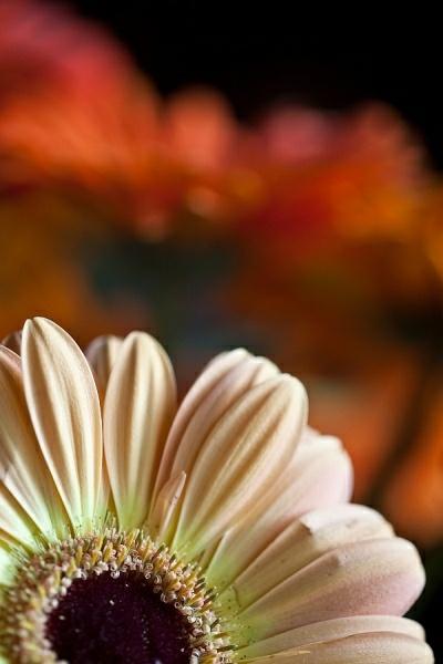 Barberton Daisy 3 by JohanGrobbelaar