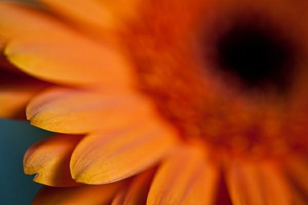 Barberton Daisy 2 by JohanGrobbelaar