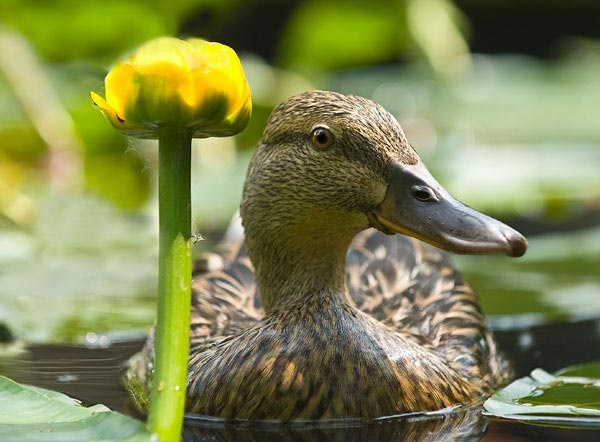 female mallard by NickD