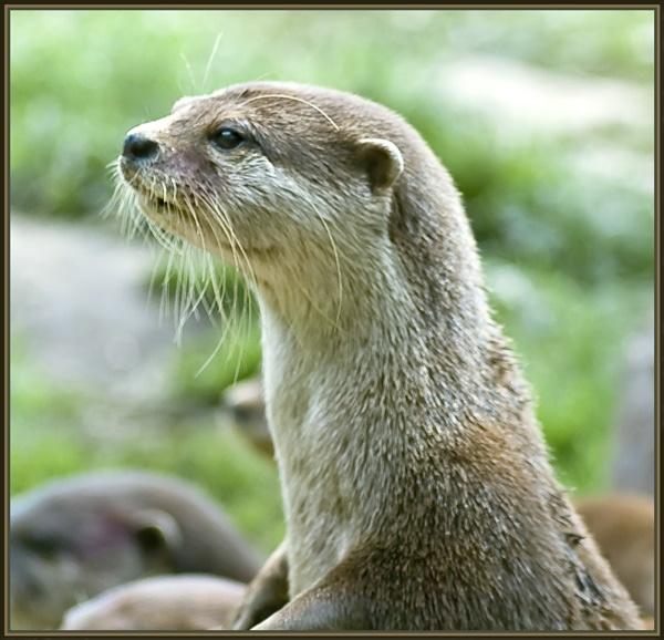Otter by jayman