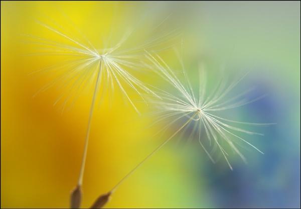 Dandelion seeds by BeiK