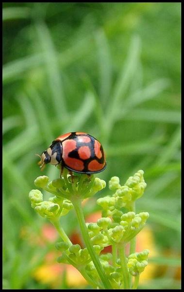 Ladybird on fennel by MaryMac