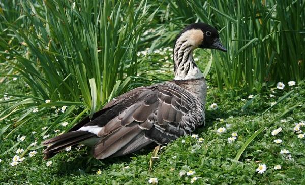 Hawaian Goose by Glostopcat
