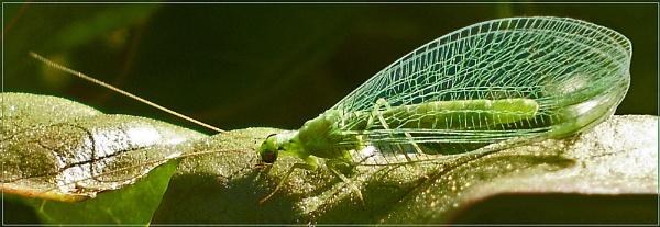 chrysoperla rufilabris by CarolG