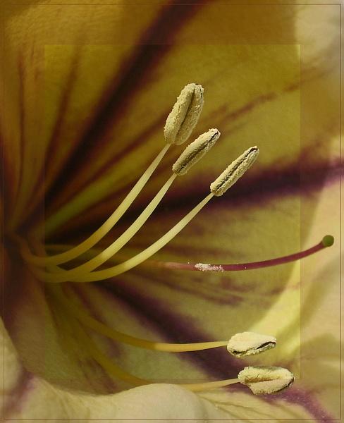 stamens by CarolG
